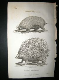 Shaw C1810 Antique Print. Common & Malacca Hedgehog